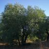 Olivenbaum der Toskana
